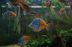 Peixes no aquário Imagem de Stock