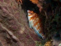 Peixes no coral Foto de Stock