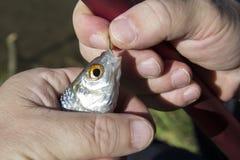 peixes no gancho Foto de Stock Royalty Free