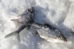 Peixes no gelo Fotografia de Stock