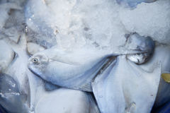 Peixes no gelo Fotos de Stock
