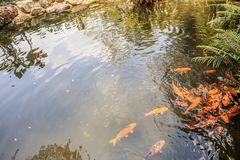 Peixes no projeto decorativo da paisagem da lagoa do jardim Fotos de Stock
