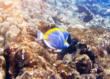 Peixes nos corais maldives Oceano Índico acanthurus, espiga do azul de pó Fotos de Stock Royalty Free