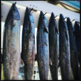 Peixes nos ganchos, Destin, Florida Fotografia de Stock