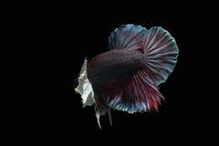 Peixes orelhudos marrom-atados brancos-breasted em um fundo preto Fotos de Stock Royalty Free