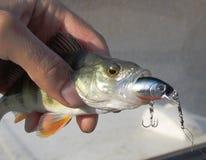 Peixes pequenos Foto de Stock Royalty Free