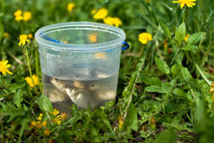 Peixes pequenos aglomerados na cubeta plástica Fotos de Stock Royalty Free