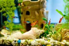 Peixes pequenos bonitos em um aquário Foto de Stock Royalty Free