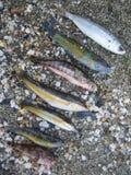 Peixes pequenos coloridos do verão no fim macro do tiro da areia da praia acima imagem de stock