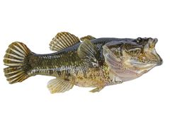 Peixes pequenos com o isolado aberto da boca Fotografia de Stock Royalty Free