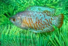 Peixes pequenos do aquarian azul-vermelho bonito fotos de stock
