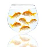 Peixes pequenos do ouro Imagem de Stock