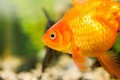 Peixes pequenos em um aquário Fotografia de Stock