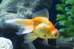 Peixes pequenos em um aquário Imagens de Stock Royalty Free