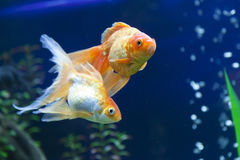 Peixes pequenos em um aquário Foto de Stock Royalty Free