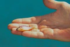Peixes pequenos em uma mão humana Foto de Stock