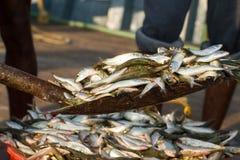 Peixes pequenos em uma pá Descarregamento de uma embarcação de pesca Foto de Stock Royalty Free