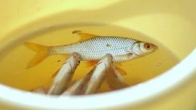 Peixes pequenos frescos em uma cubeta amarela O pescador travou alguns peixes pequenos video estoque