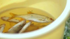 Peixes pequenos frescos em uma cubeta amarela O pescador travou alguns peixes pequenos vídeos de arquivo