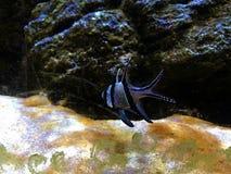 Peixes pequenos no aquário Imagem de Stock Royalty Free