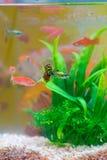 Peixes pequenos no aquário ou o aquário, os peixes do ouro, o guppy e f vermelho Fotos de Stock