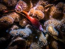 Peixes pequenos no recife de corais Vida marinha imagens de stock