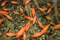Peixes pequenos pequenos vermelhos sob a água Imagens de Stock