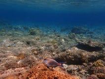 Peixes perto do recife de corais Foto de Stock Royalty Free