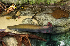Peixes pré-históricos de Arapaima fotografia de stock royalty free