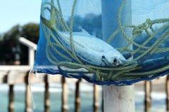 Peixes prendidos em um saco da malha Foto de Stock