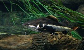 Peixes preto e branco, peixe-gato Imagens de Stock