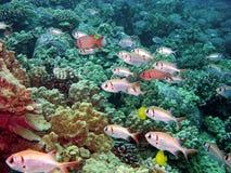 Peixes pretos do soldado da barra em um recife em Kona Havaí Imagem de Stock Royalty Free