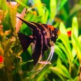 Peixes pretos e vermelhos lindos do pterophyllum no aquário Fotos de Stock