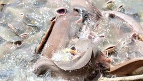 Peixes que comem o alimento video estoque