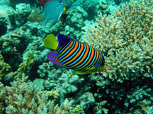 Peixes régios do anjo Fotos de Stock