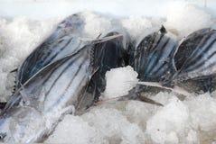 Peixes refrigerados Imagem de Stock Royalty Free