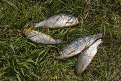 Peixes Rudd do rio Alguns peixes que encontram-se na grama verde fotografia de stock royalty free