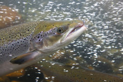 Peixes Salmon na água, close-up Fotos de Stock Royalty Free
