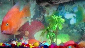 Peixes saudáveis felizes do papagaio alaranjado que interagem e que nadam dentro vídeos de arquivo