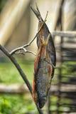 Peixes secados Imagem de Stock