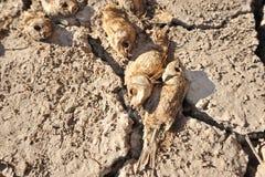 Peixes secos no assoalho do deserto Fotografia de Stock