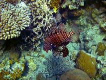 Peixes selvagens do leão Foto de Stock