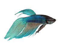 Peixes Siamese azuis da luta Imagens de Stock