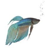 Peixes Siamese azuis da luta - Betta Splendens imagem de stock royalty free