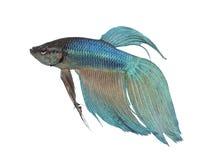 Peixes Siamese azuis da luta - Betta Splendens fotografia de stock royalty free