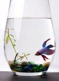 Peixes Siamese azuis/roxos da luta - Betta Splenden Foto de Stock