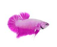 Peixes Siamese da luta imagem de stock
