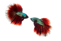 Peixes Siamese da luta Foto de Stock Royalty Free