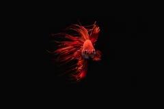 Peixes Siamese da luta Fotos de Stock Royalty Free