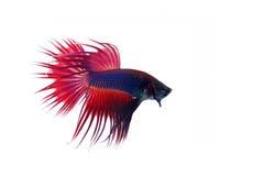 Peixes Siamese da luta fotografia de stock